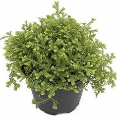 Golden Fern Club Moss (Green) Plant - Selaginella - Exotic - 4' Pot
