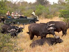 A young buffalo depends on the structure of the herd for protection. Buffalo are almost exclusively grazers, and half the Kruger population occurs on the open savannas of the Central Region. Kruger National Park, Continents, Biology, Buffalo, Wildlife, Survival, African, River, Landscape