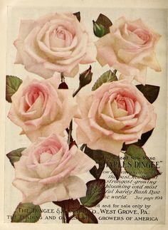 Dingee guide to rose culture : 1850 1911