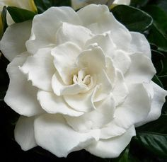 Gardenia....such a pretty flower but so toxic to me!!! Makes me itch & swell just looking at it :P
