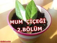 MUM ÇİÇEĞİ SAKSIYA AKTARMA İŞLEMİ--2.BÖLÜM //Hoya Carnosa - YouTube Indoor Flowers, Garden Crafts, Houseplants, Farmer, Diy And Crafts, Candles, Beautiful, Flower Ideas, Youtube