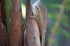 Little lizard at Krabi, Thailand