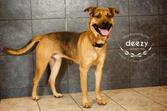 Petango.com – Meet Deezy, a 1 year 7 months Shepherd / Mix available for adoption in KANSAS CITY, MO