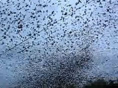 European Starlings - Throughout Winter 2012