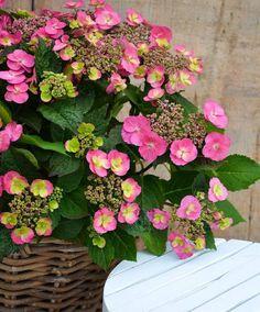 Najlepsze Obrazy Na Tablicy Hortensje 149 Plants Florals I