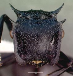 Cephalotes atratus