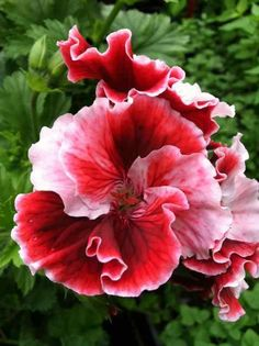 "Pelargonium ""Martha Washington"" - 'Gardener's Joy'"