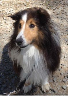 Evan is an adoptable Shetland Sheepdog Sheltie Dog in Aldie, VA I'm the cutest little sheltie you've ever seen and because I am a bit more mature than some, I  ... ...Read more about me on @Petfinder.com.com