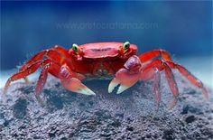 Apple Crab