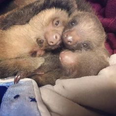 Some babies cuddling at the Toucan Rescue Ranch. Baby Sloth, Raise Funds, Sloths, Costa Rica, Cuddling, Iron Man, Ranch, Competition, November