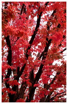 Red and Black Fall Tree