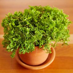 Even though Selaginella kraussiana 'Aurea', or golden clubmoss, stays compact in height -- just up to 6 inches -- it likes to spread. In fact, it can reach 2 feet across, so keep it trimmed inside a terrarium. The light green foliage works wonders to brighten darker-color plants. Keep the soil moist but not wet. In warmer Zones, it also can be used in shade gardens as a groundcover. Name: Selaginella kraussiana 'Aurea' Size: To 6 inches tall and 2 feet wide