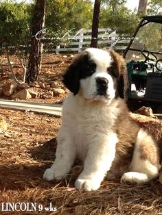 """Casual Loves Elegance our new puppy """"LINCOLN"""". Loves being outdoors!"""