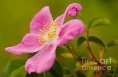 Wild Rose Macro by Nick Boren