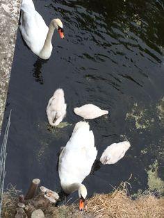 Lovely swan family!