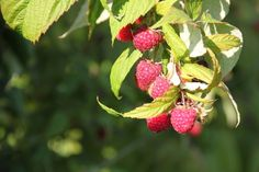 2013-10-09: raspberries