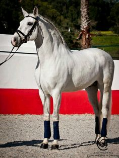Cavalo Lusitano, such a beauty What is this handsome thing doing in here...Oh never mind he s in good company !