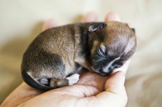 Beyonce - world's smallest dog