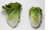 Thinker has a medium sized head with excellent shape and dark green leaves. Good tip burn tolerance and very good resistance to bolting. Lettuce Seeds, Blender Recipes, Green Leaves, Gem, Shape, Vegetables, Dark, Medium, Nice