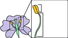 Stamen diagram of a flower created by The Amoeba Sisters.