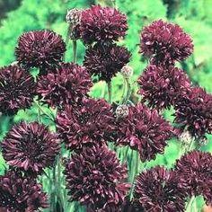 35 Centaurea Boy Black Cornflower Bachelors Button Flower Seeds  Annual *** Read more at the image link.