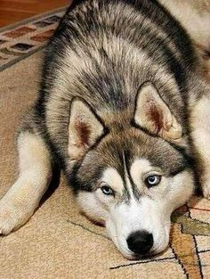 (KO) Husky. Beautiful dog with piercing eyes. Somebody's best buddy in the whole world.