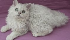 5 Beautiful And Unusual Cat Breeds