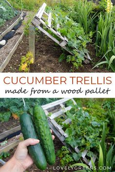 pallet garden DIY Pallet Cucumber Trellis -- Re-purpose a wood pallet into a quick and sturdy DIY cucumber trellis -- no tools required. It gives space for the plants to grow and makes harvesting an easy task Diy Trellis, Garden Trellis, Organic Gardening, Gardening Tips, Gardening Services, Cucumber Trellis, Pallets Garden, Pallet Gardening, Pallet Garden Ideas Diy