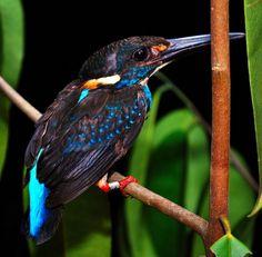 Blue-banded Kingfisher (Alcedo euryzona), male, Southeast Asia
