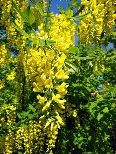 Buy beautiful Flowering Trees to add seasonal color to your landscape. Shipping available in US. Butterfly Garden Plants, Planting Flowers, Buy Trees Online, Golden Chain Tree, Wisteria Tree, Flower Close Up, Wildflower Seeds, Flower Food, Nature Plants