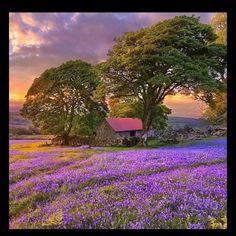 Blue bell field - England