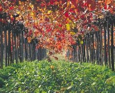 Wander among the lush trees and taste their fruits at one of the many vineyards in Swan Valley. Discover the perfect gourmet getaway and head to Perth, Western Australia. Autum Wedding, Perth Western Australia, Scenic Photography, Natural Wonders, Beautiful Places, Beautiful Swan, Cool Art, Tourism, Cheese