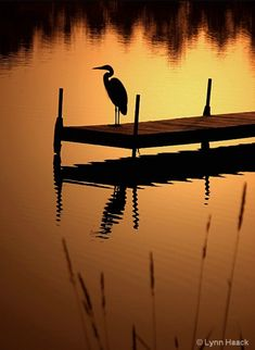 Heron on Lost Lake by Lynn Haack on Capture Wisconsin // Lone Heron at dawn on Lost Lake in St. Beautiful Nature Wallpaper, Beautiful Sunset, Beautiful Birds, Beautiful Landscapes, Sunset Silhouette, Silhouette Art, Silhouette Fotografie, Nature Pictures, Beautiful Pictures