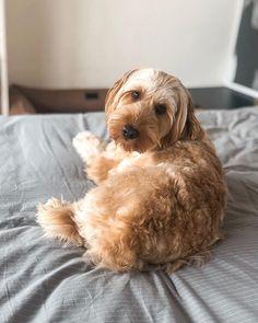 #miniaturelabradoodle hashtag on Instagram • Photos and Videos Miniature Labradoodle, Doodles, Miniatures, Photo And Video, Videos, Dogs, Photos, Animals, Instagram
