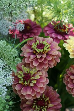 Zinnia Queen Red Lime`