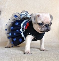 Puglet in her little party dress. Pugs will let you do anything to them. Baby Animals, Funny Animals, Cute Animals, Amor Pug, Pugs In Costume, Costumes, Pugs And Kisses, Baby Pugs, Pug Pictures