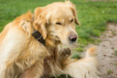 Hives in dogs are often a result of an allergic reaction. Learn the signs and symptoms of dog hives and what you can do to prevent and treat hives in dogs. Dog Hives, Dog Benadryl, Lyme Disease In Dogs, Animal Behavior College, Ask A Vet, Rambo, Pregnant Dog, Flea Treatment, Golden Retriever