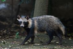 Get to know the raccoon dog, which is neither a raccoon nor a dog.