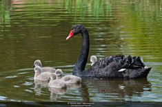 Black Swan Cygnus atratus - Google Search