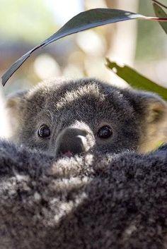 Cute Koala Baby
