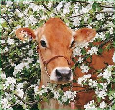 """ainawgsd: """"Cows in Flowers """""""