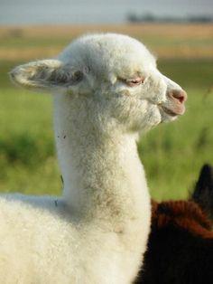 Cria, baby alpaca