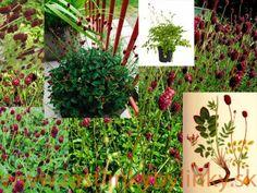 Krvavec lekársky – ( Sanguisorba officinalis L. ) € - rastlinka v kvetináči Plants, Plant, Planets