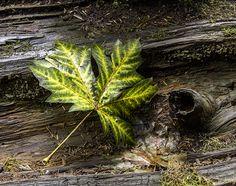 Leaf on Fallen Tree by Sherry Levasseur, via 500px