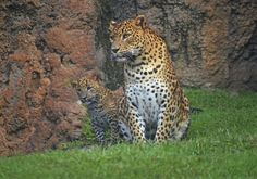 BIOPARC Valencia's Sri Lankan Leopard cub timidly jumped at the opportunity to explore the outside area of his exhibit for the first time. The young male was born July 16, and until now, he has been safely tucked away with...