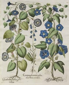 Ipomoea nil (L.) Roth [as Convolvulus Indicus flore violaceo]. Bessler, Basilius, Hortus Eystettensis, 1620. Illustration contributed by Teylers Museum, Haarlem, The Netherlands. Antique botanical illustration.