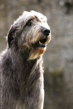 The dog wagged its tail against the wet leaves of the forest floor. Fyrddin slowly rubbed its head until he received a lick on the hand...wolf hound