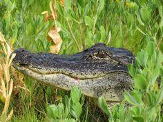 American Alligator, Blackpoint Wildlife Trail, Merritt Island