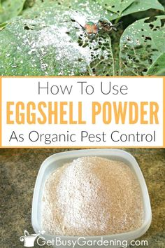 Using eggshells as organic pest control is inexpensive, and easy! In this post, not only will I show you how to use them to kill bugs in your garden, I will also show you exactly how to prepare eggshells - including tips for cleaning and drying, grinding Veg Garden, Garden Pests, Vegetable Gardening, Organic Vegetables, Growing Vegetables, Organic Gardening Tips, Garden Guide, Garden Ideas, Gardening For Beginners