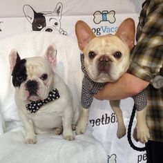 Manny and Walter Cronkite, French Bulldogs.